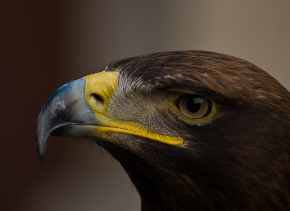 Photograph Portrait of an eagle  by Andrea Rapisarda on 500px