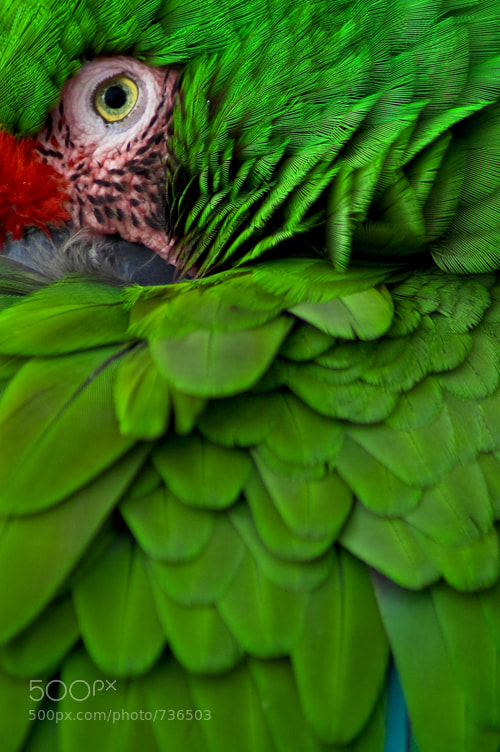 Photograph Emerald - Military Macaw by Justin Schmauser on 500px