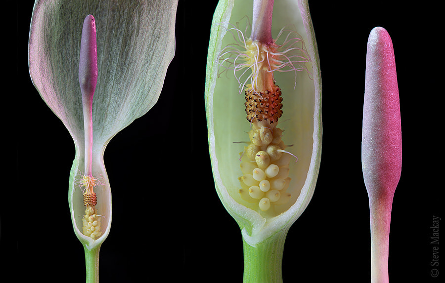 Photograph Anatomy of a Cuckoo Pint (Dissection) by Steve Mackay on 500px