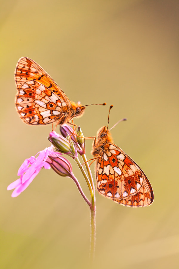 Photograph Boloria selene by Georg Essl on 500px