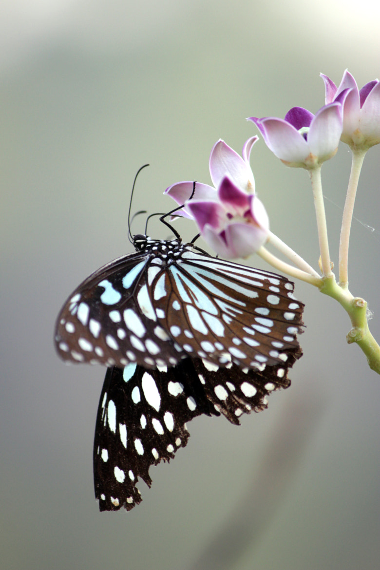 Photograph Blue Tiger butterfly by Subhash Masih on 500px