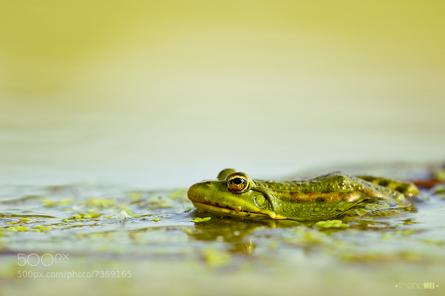 Photograph Frog's Life by Irene Mei on 500px