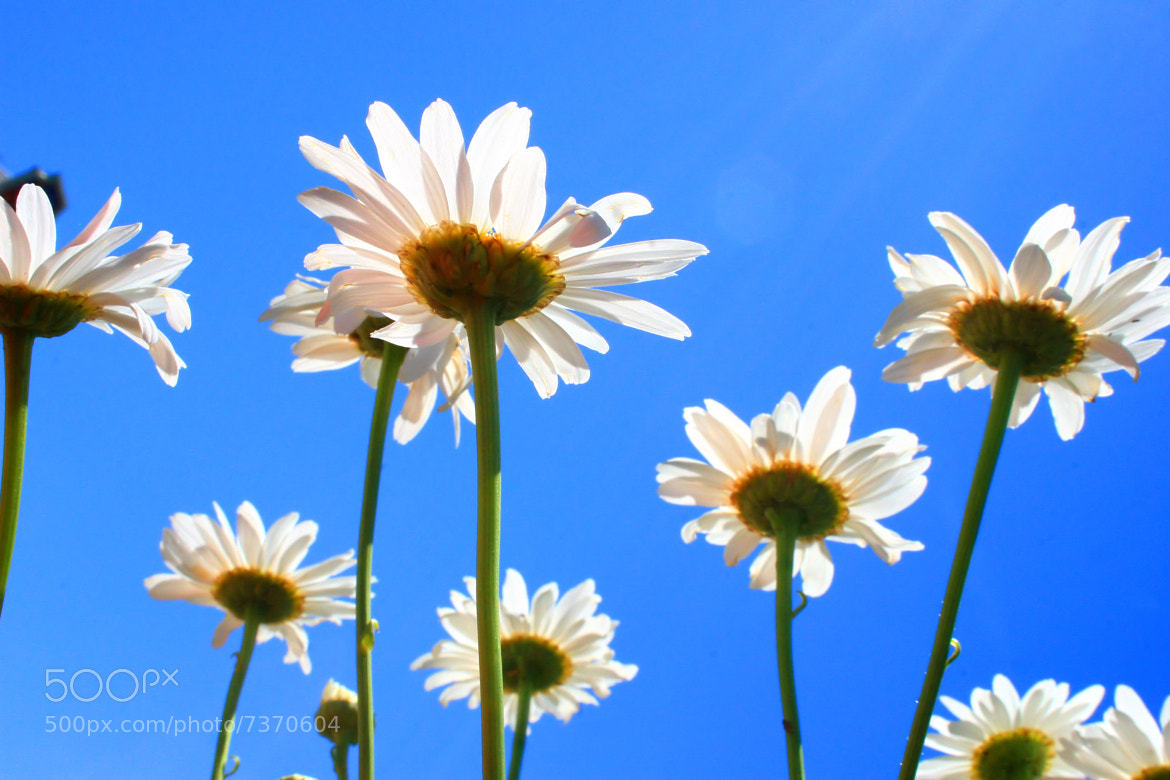 Photograph Daisy in Daylight by Teddy  Meeks on 500px