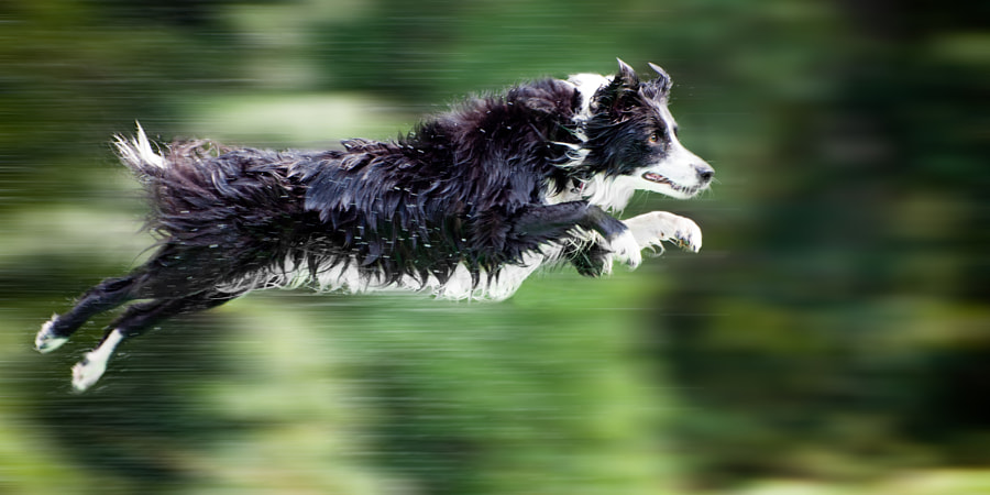 Photograph Wet border collie dog in midair by Robert Hainer on 500px