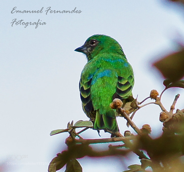 Photograph Bird Brasil by Emanuel Fernandes on 500px
