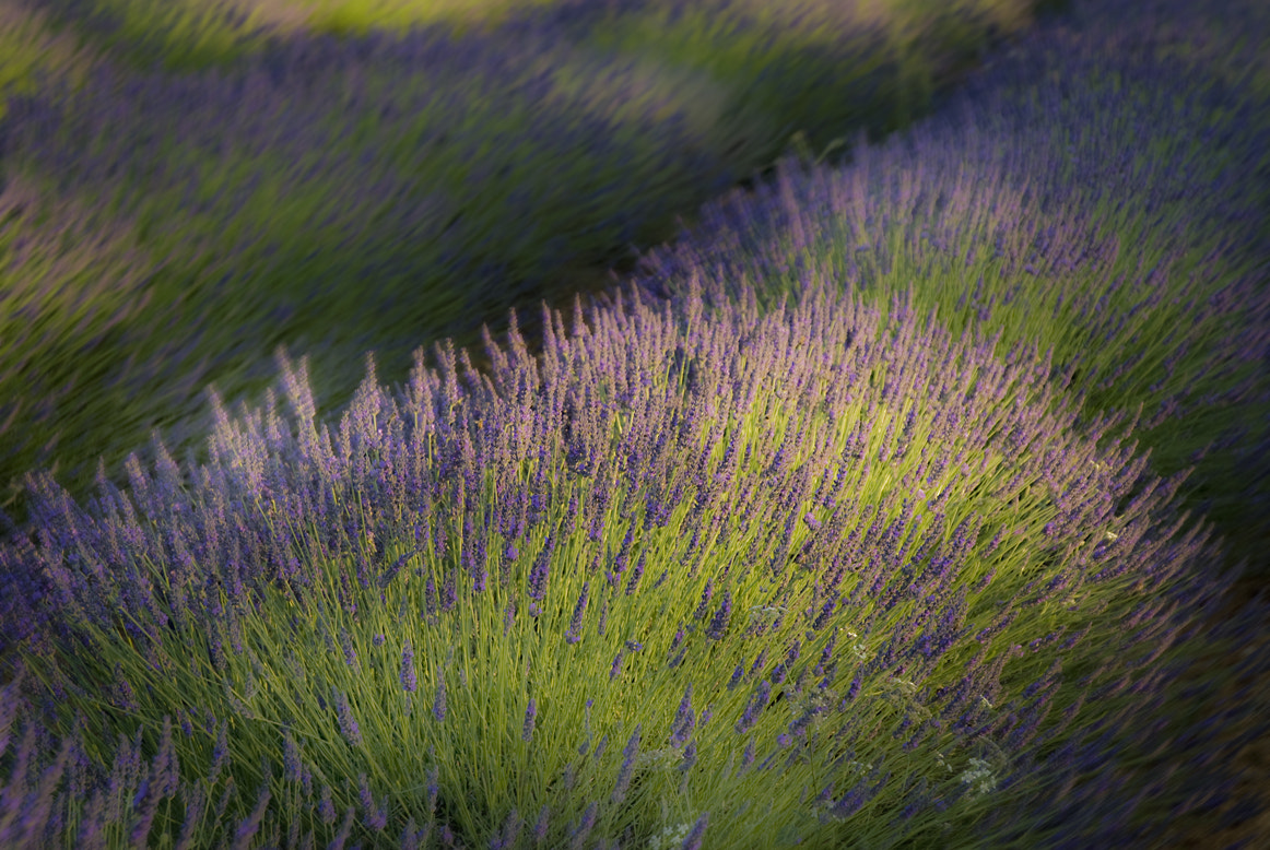 Photograph Lavendel 01 by Gilbert Janssens on 500px