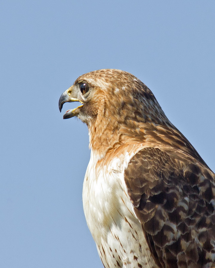 Photograph Hawk by Mike Oberg on 500px