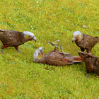 Постер, плакат: Wild Kaka Parrots Playing