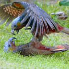 Постер, плакат: Kaka Parrots Playing New Zealand