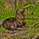 Постер, плакат: 2014 May Female River Otter