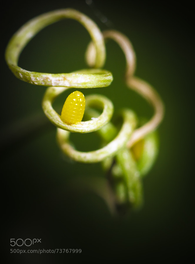 Photograph Butterfly's egg by Gildas Cuisinier on 500px