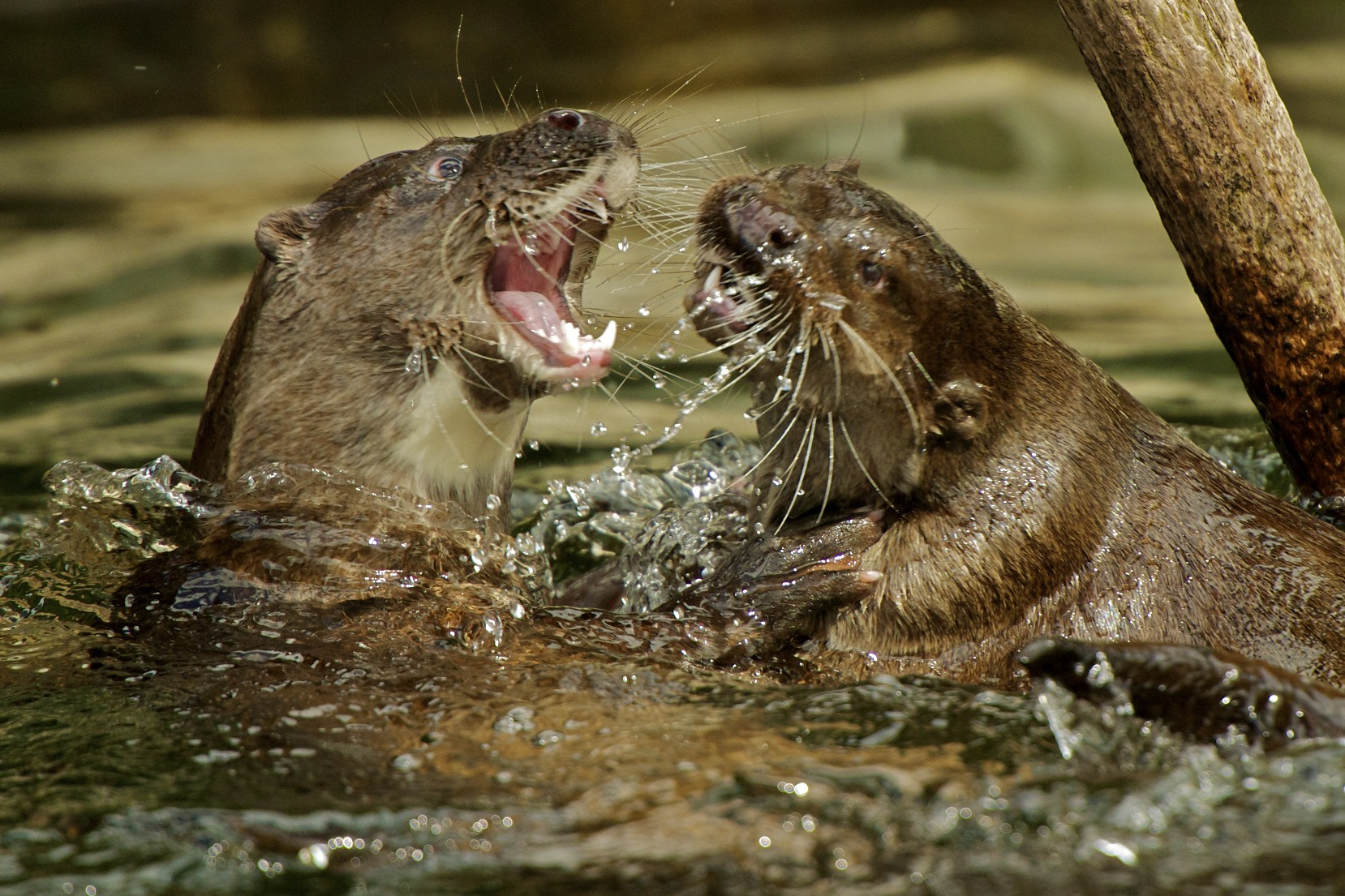Photograph Otters Courting by Seb Loram on 500px
