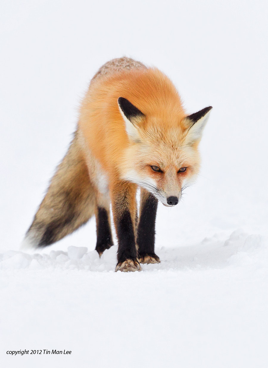Photograph Red Fox, Snow, Yellowstone by Tin Man on 500px