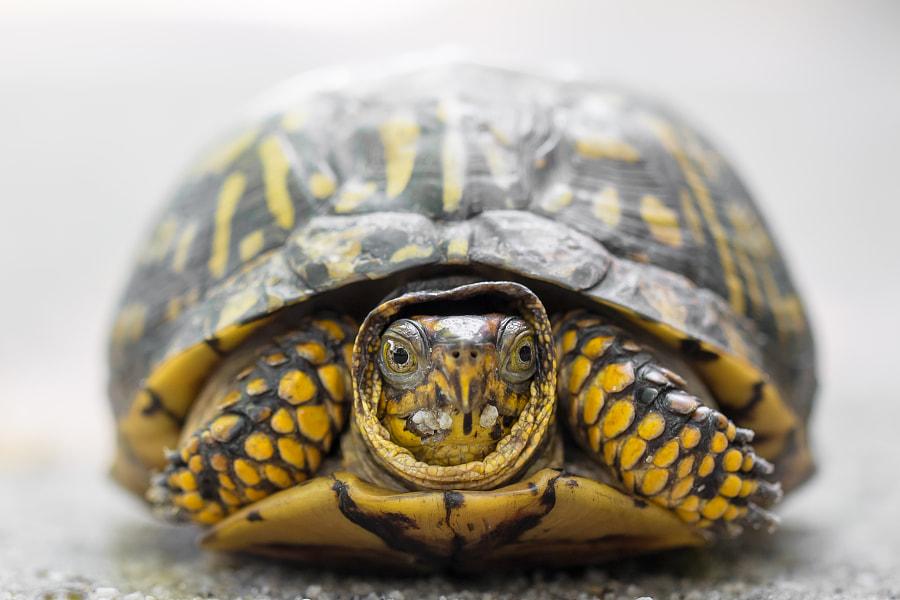 Box Turtle by Gaurav Singh on 500px.com