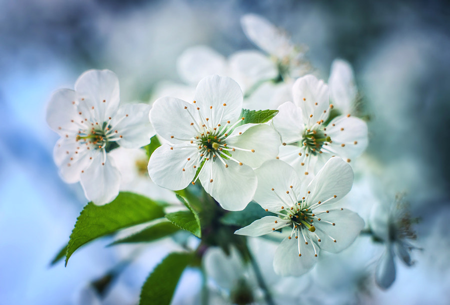 cherry flowers in spring time against blue sky by Tarasenko Maxx on 500px.com