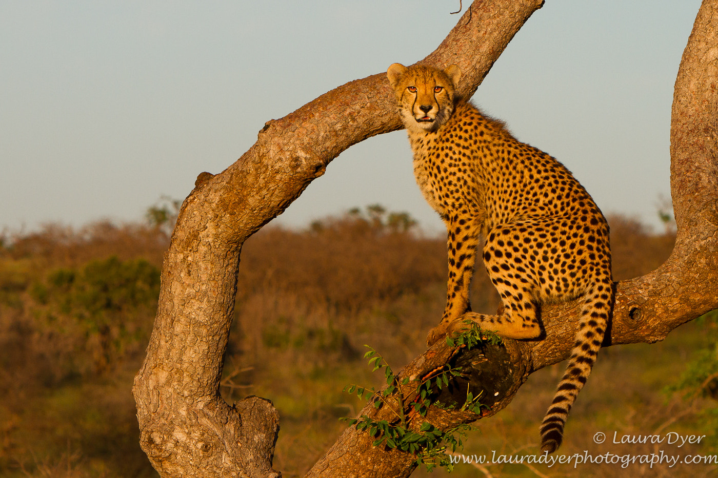Photograph Cheetah lookout by Laura Dyer on 500px