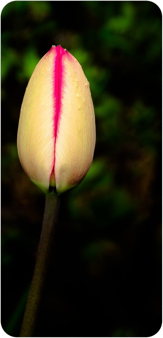 Photograph Tulip! by Hector Melo A. on 500px