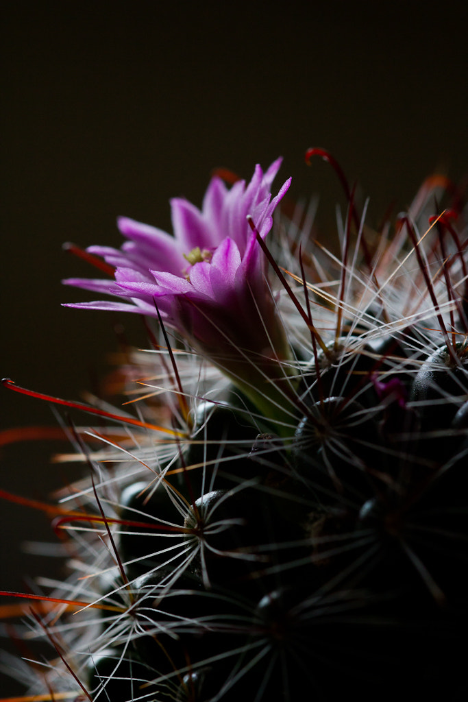 Photograph Cactus Flower by Adam Browning on 500px
