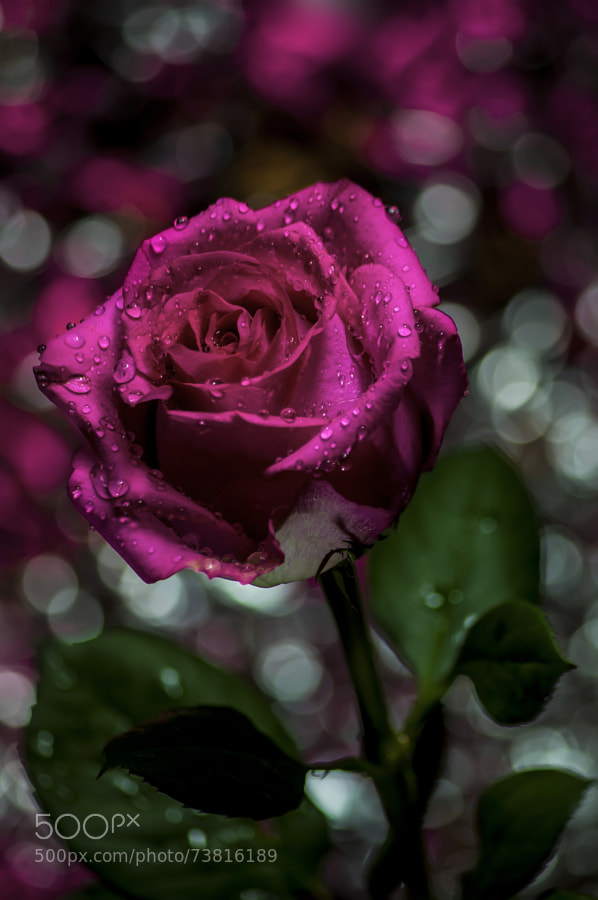 Capture of a rose in a dimmed room using 80-320 lens with macro ring