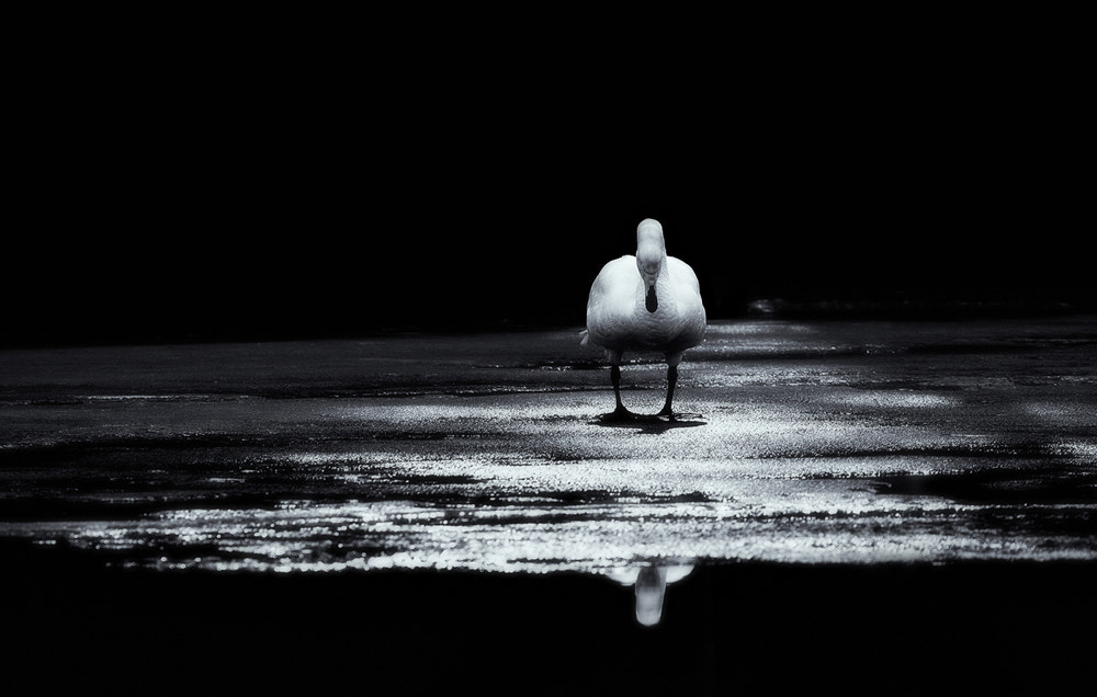 Photograph Swan On Ice by Joni Niemelä on 500px