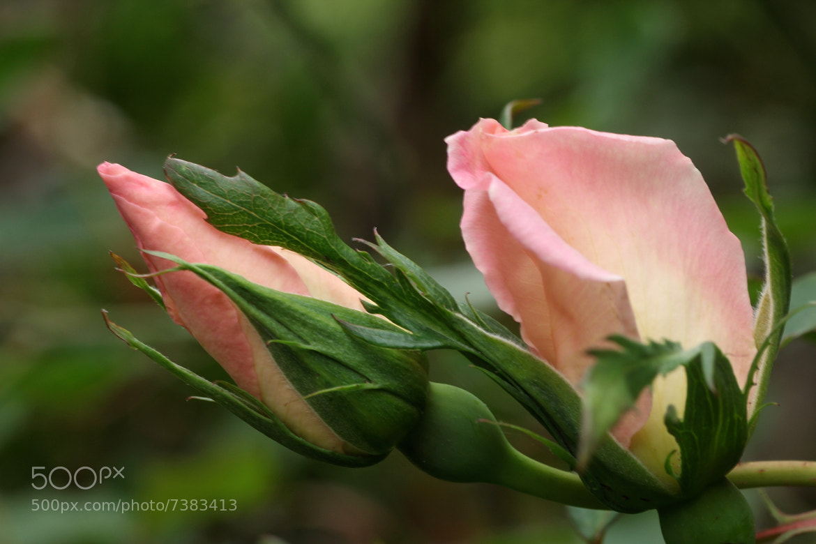 Photograph Torpedo Rose by Shyama Priya on 500px