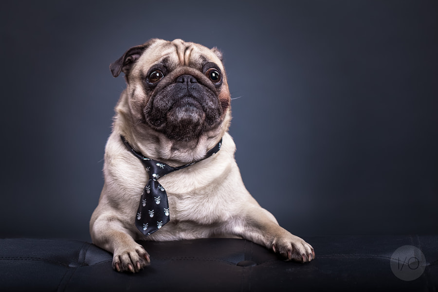 Percy the Pug by Ines Opifanti on 500px.com