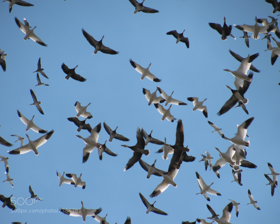 Photograph Snow Geese II by Meredith Mahoney on 500px