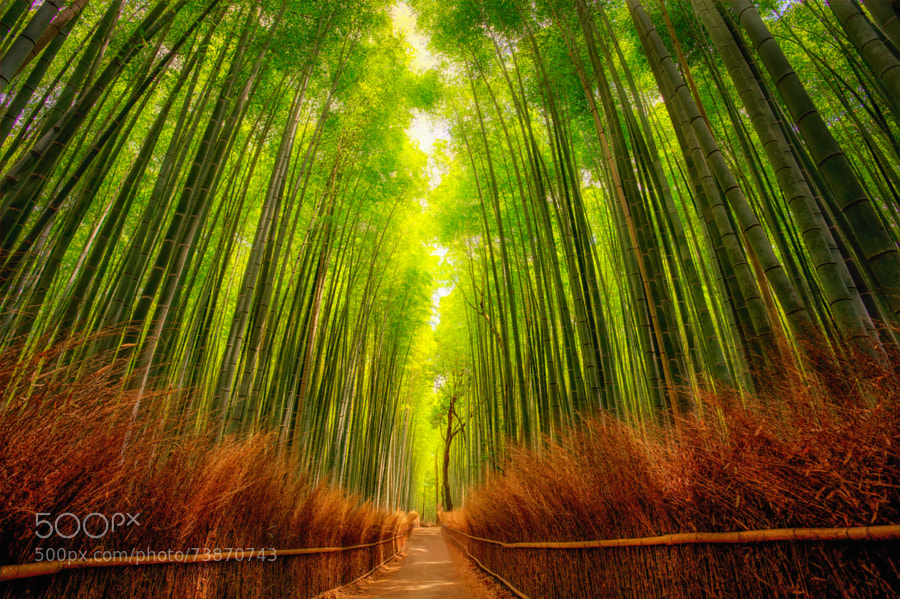 Photograph bamboo forest by Rolf Hartbrich on 500px