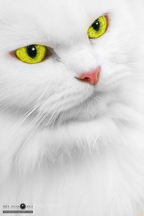 Photograph White Cat by Ali Alnaqbi on 500px