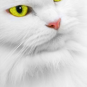 White Cat by Ali Alnaqbi (ALNAQBI)) on 500px.com