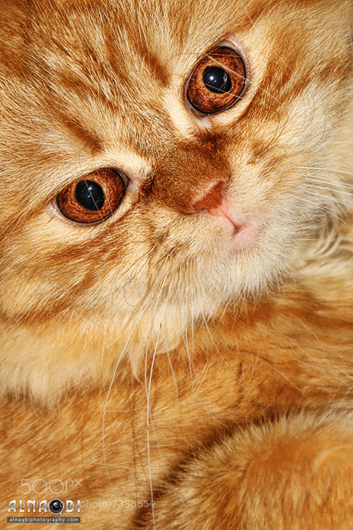 Photograph Brown Cat by Ali Alnaqbi on 500px