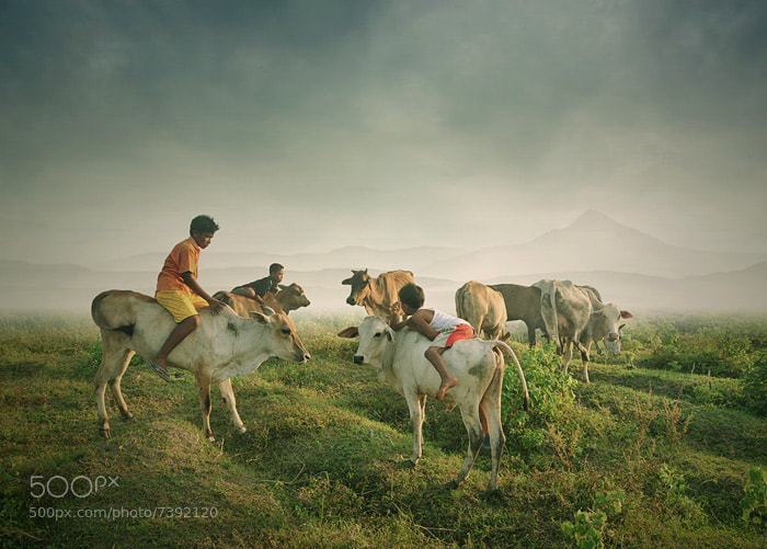 Photograph cowherd symphony by Teuku Jody  Zulkarnaen on 500px