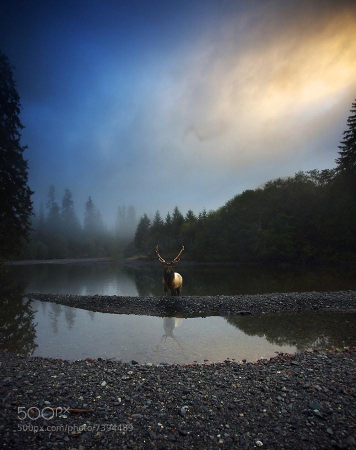 Photograph Roosevelt Elk by Snorri Gunnarsson on 500px