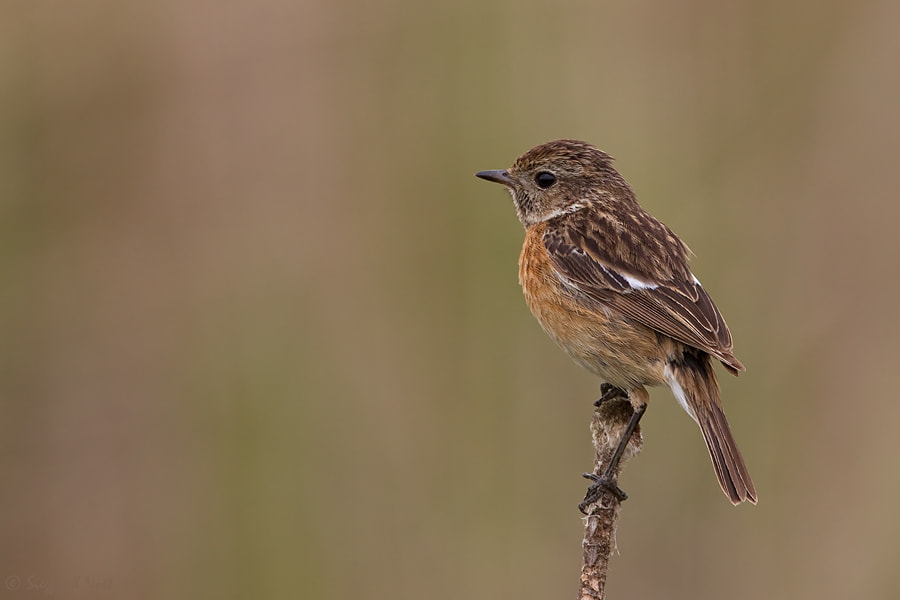 Photograph  African Stonechat - Female by Siegfried Noët on 500px