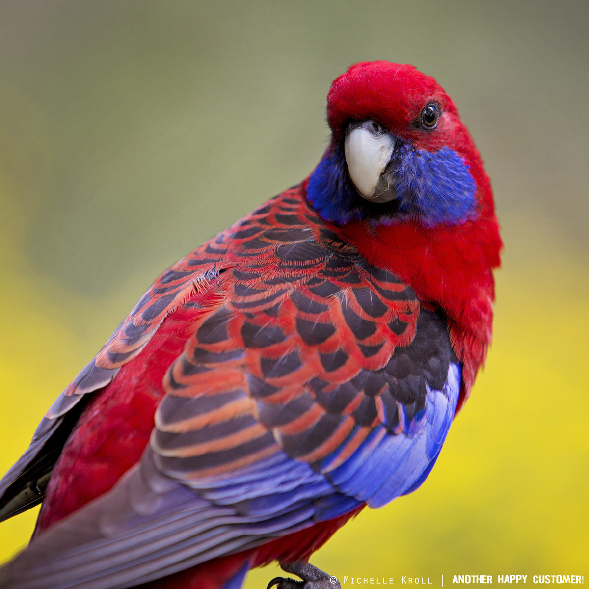 Photograph Aussie Crimson Rosella by Michelle Kroll on 500px