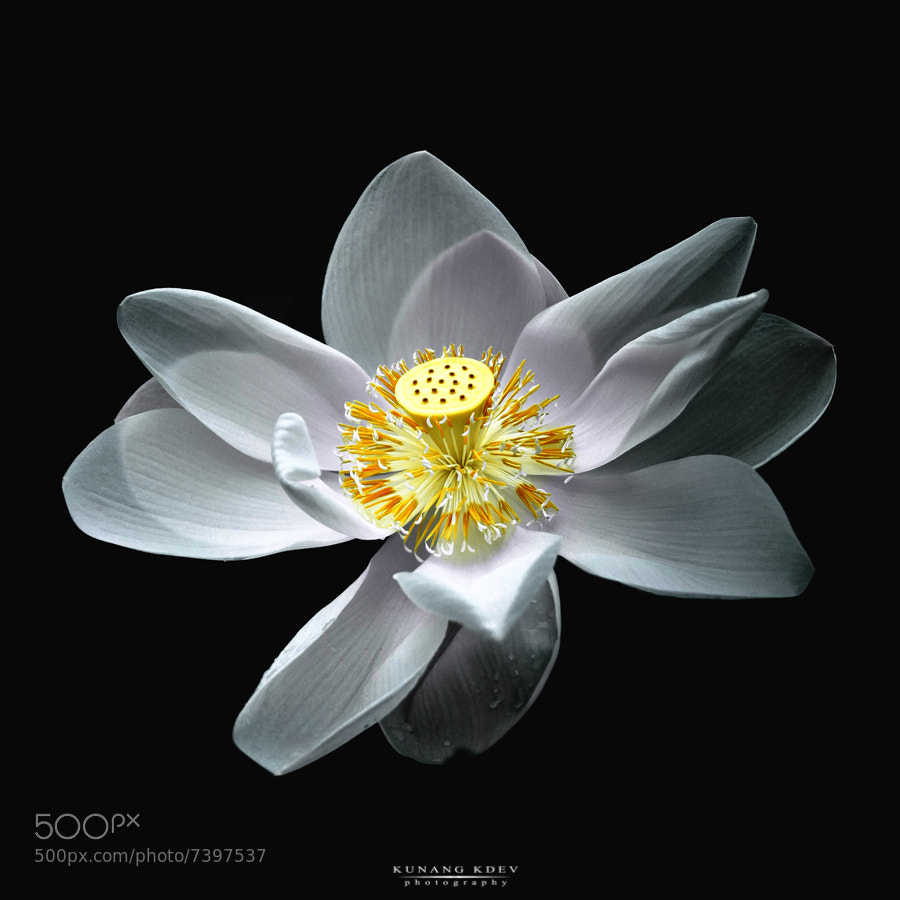 "Photograph "" White Lotus "" by kunang kdev on 500px"