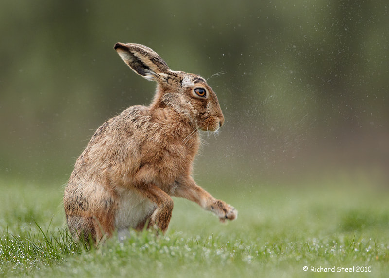 Photograph Wet Hare by Richard Steel on 500px