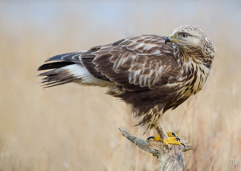 Photograph Rough-legged Buzzard by Trond  Westby on 500px
