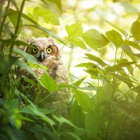 Shy Owl by Mark Jones (markjonesphoto) on 500px.com