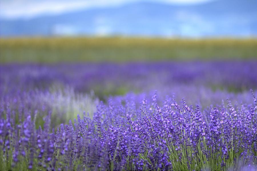 Lavender field by Boris Mitendorfer on 500px.com