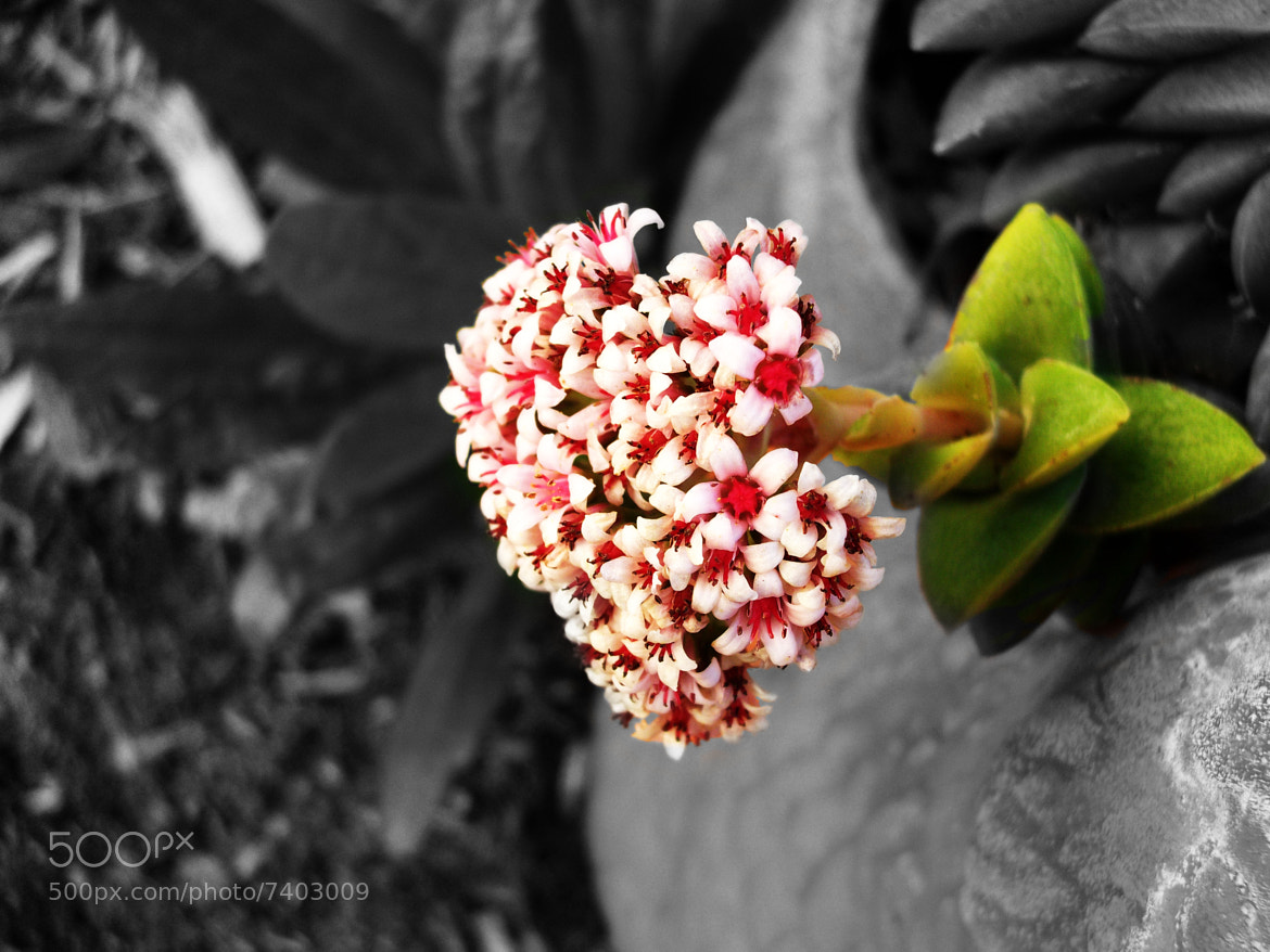 Photograph Contrasted Blossom by Christian Han on 500px