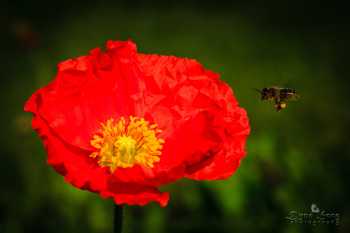 Photograph Bee flying over a Papaver Alpinum by Dyna Seng on 500px