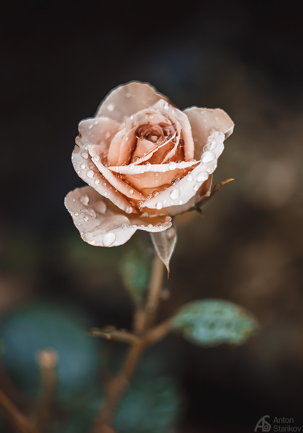 Photograph Rose by Anton Starikov on 500px
