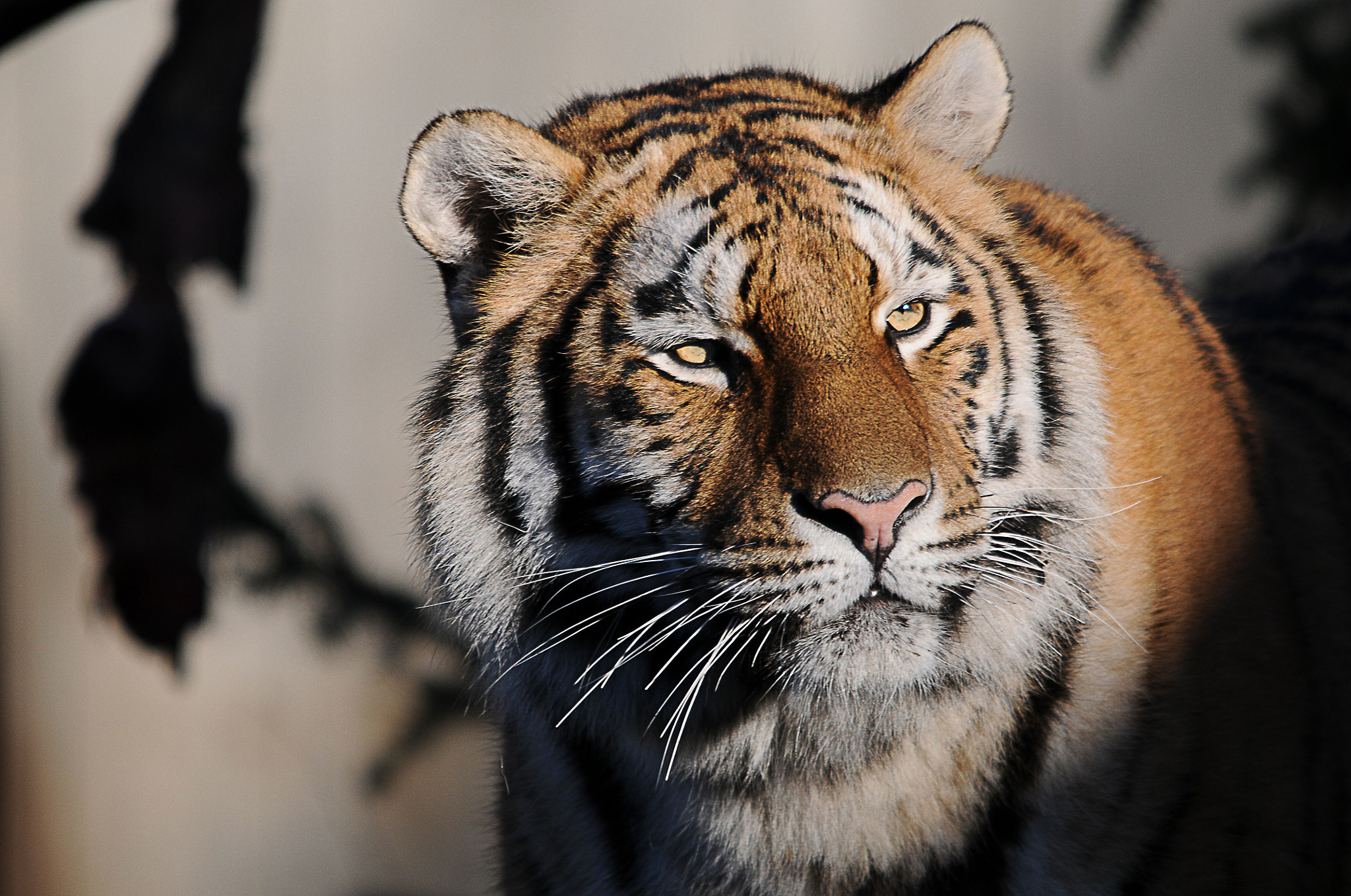 Photograph Tiger by Tommy Foley on 500px