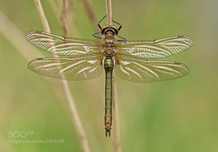 Photograph Wings by Erik Veldkamp on 500px