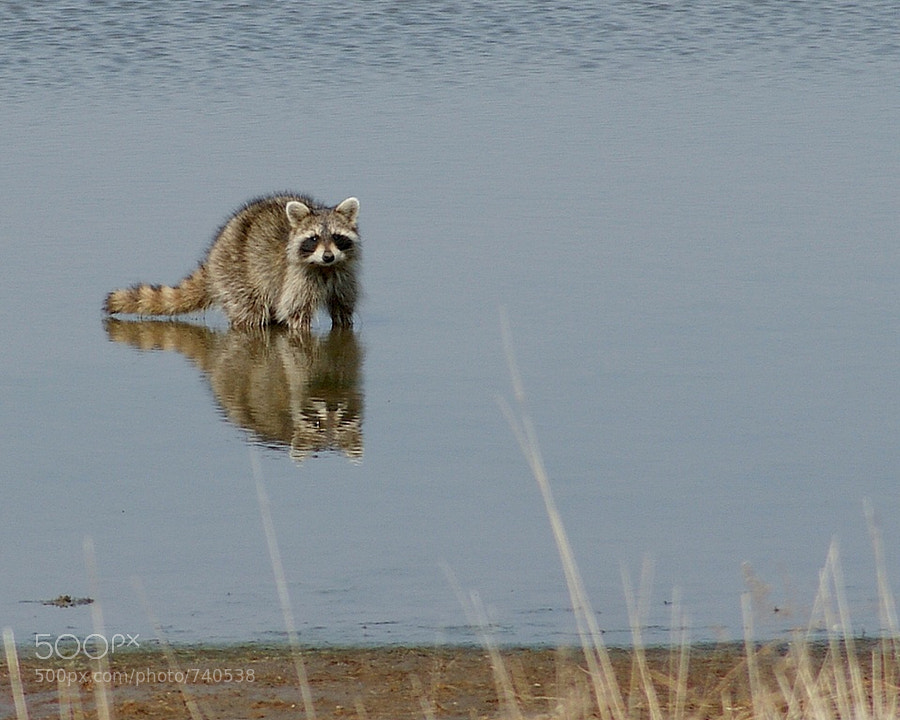 This raccoon was hanging out in my neighbor's pond.  It allowed me to photograph it for a while, and then it swam across the pond to the other side.