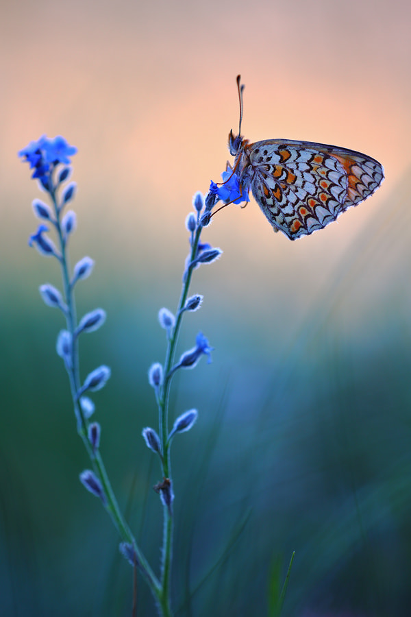 Photograph Knapweed Fritillary by Christian Rey on 500px