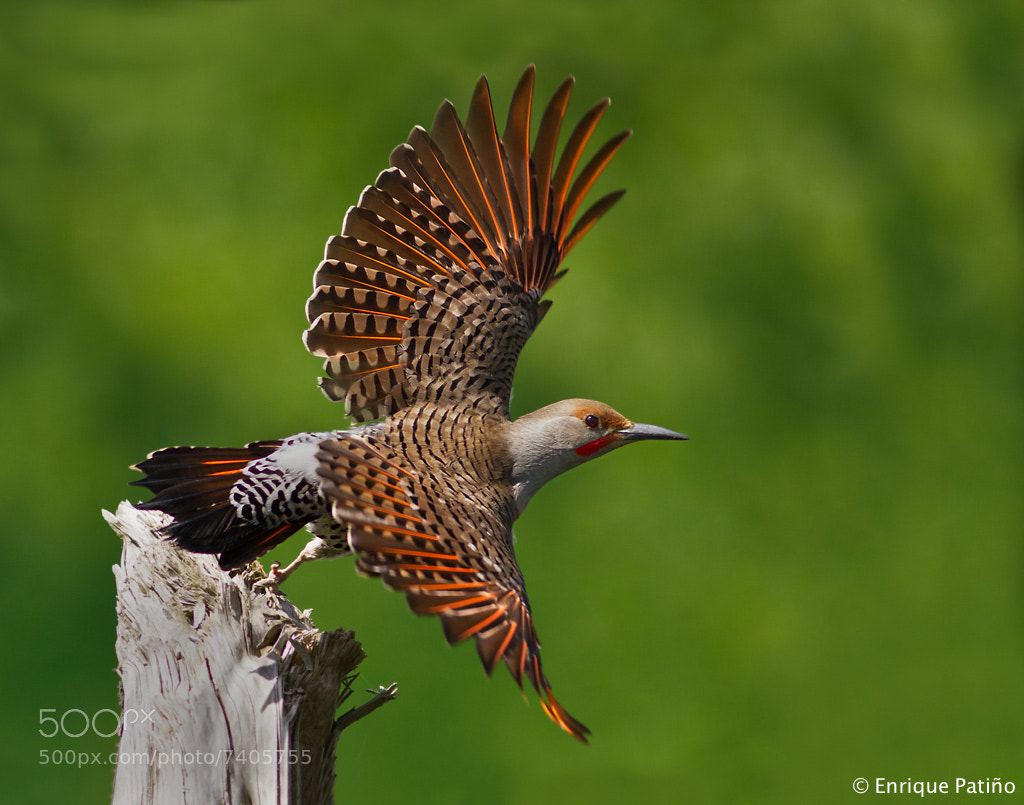 Photograph Northern Flicker by Enrique Patiño on 500px