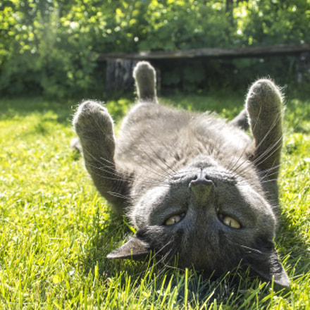Russian blue photomodel