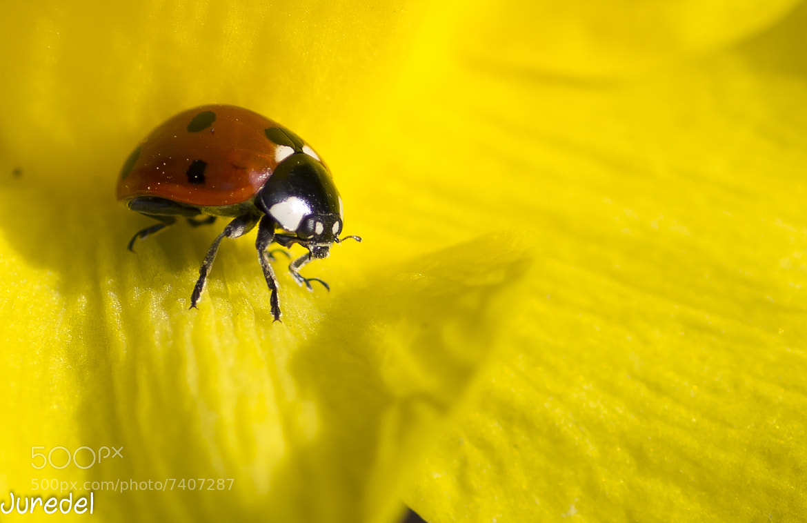 Photograph Lady bug by juredel juredel on 500px
